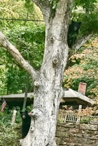 Black Bear in Tree in Swannanoa, NC